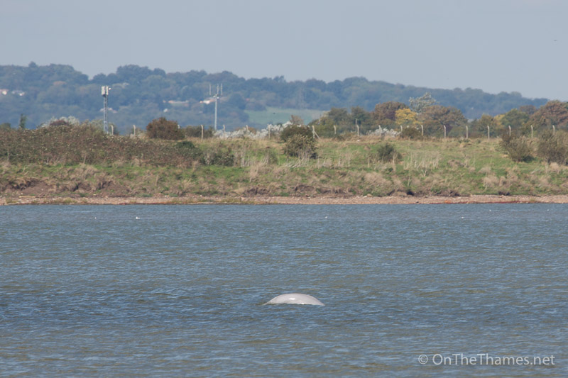 A Beluga whale has been spotted in the Thames in Kent
